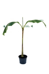 Bananowiec musa basjoo duże drzewko