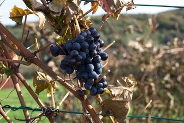 Fototapeta dojrzewające ciemne winogrono fp 944