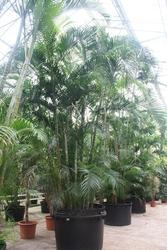Dypsis lutescens areca