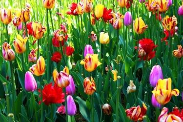 Fototapeta łąka kolorowych maków fp 725