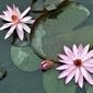 Fototapeta lilie unoszące się na wodzie fp 362