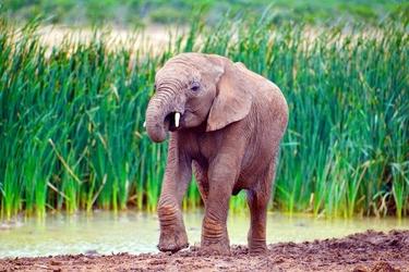 Fototapeta mały słonik wracający z kąpieli fp 2836
