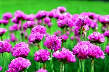 Fototapeta kwiat zawciąg nadmorski fp 452