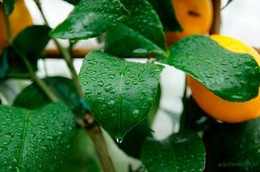 Cytryna meyeri drzewo