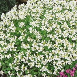Gęsiówka kaukaska schneehaube –biała – kiepenkerl