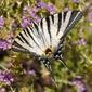 Obraz na płótnie canvas swallowtail motyl
