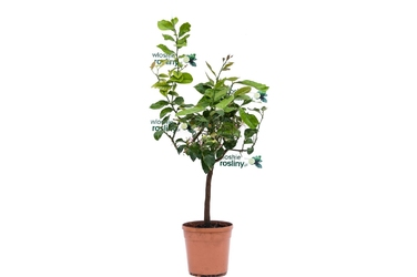 Cytryna variegata duże drzewko