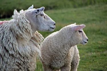 Fototapeta na ścianę owce wypatrujące stada fp 3016