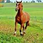 Fototapeta galopujący gniady koń w zagrodzie fp 2642