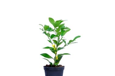 Lima tahiti krzew