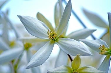 Fototapeta czteropłatkowe białe kwiatki fp 275