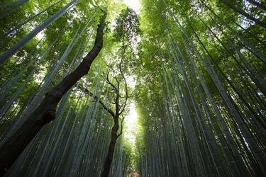 Las bambusowy - plakat wymiar do wyboru: 100x70 cm