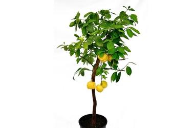 Limetta pursha drzewo