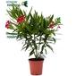 Oleander mały krzew