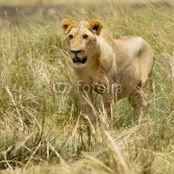 Obraz na płótnie canvas trzyczęściowy tryptyk lion masai mara kenia