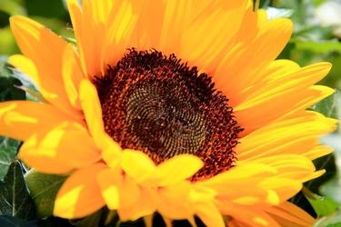 Fototapeta kwiat, słonecznik 342