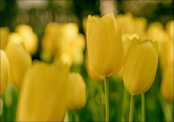 Żółte tulipany - plakat wymiar do wyboru: 30x20 cm