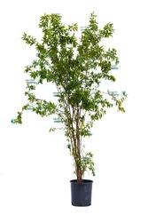 Granatowiec właściwy ogromny krzew
