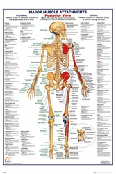 Ciało Człowieka - Tył Budowa wersja angielska - plakat