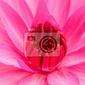 Fototapeta różowa lilia wodna