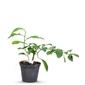 Mandarynka satsuma krzew