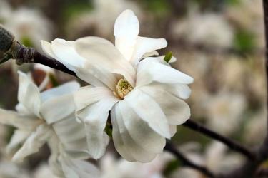 Fototapeta biały kwiat magnoli fp 380