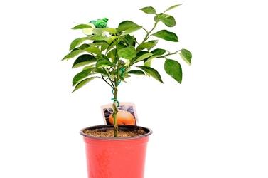 Pomarańcza washington navel krzew