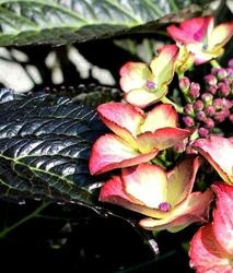 Hortensja dark angel czarne liście