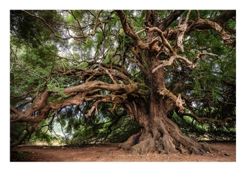 Stare drzewo - plakat wymiar do wyboru: 70x50 cm
