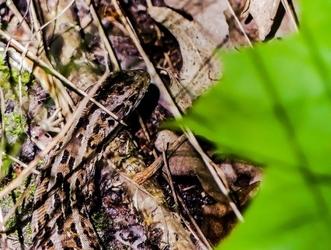 Jaszczurka - plakat premium