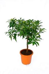 Kumkwat margarita drzewko