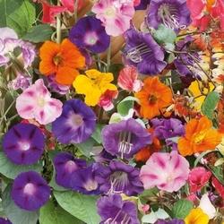 Kwiaty pnące – mix nasion –kiepenkerl