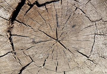 Fototapeta przekrój pnia ściętego drzewa fp 134