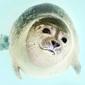 Fototapeta na ścianę mała foka fp 2613