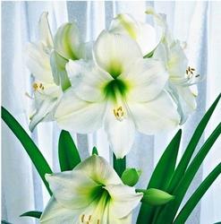Hippeastrum amarylis mount blanc – 1 szt.