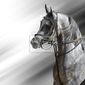 Fototapeta portret dapple szary koni arabskich