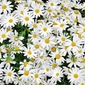 Fototapeta polana białych kwiatków fp 473