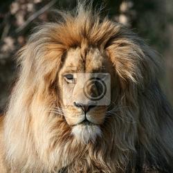 Obraz portret lwa