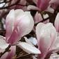 Plakat na papierze fotorealistycznym magnolia z kroplami rosy