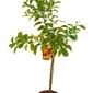 Pomarańcza gorzka duże drzewko