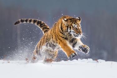 Fototapeta tygrys 1026s