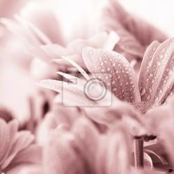Obraz piękne kwiaty daisy bliska