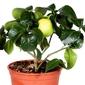 Cytryna lipo krzew