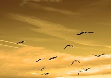 Fototapeta lecące ptaki fp 2917