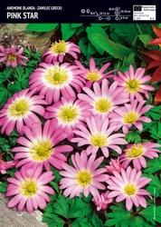 Anemon zawilec grecki 'pink star' – 15 szt.